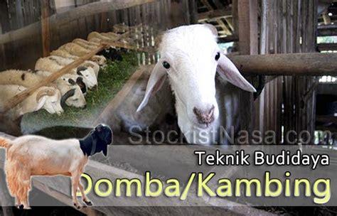 Bisnis Penggemukan Domba teknik budidaya penggemukan domba kambing