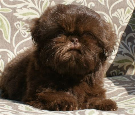liver brown shih tzu best 25 shih tzu chocolate ideas on shih tzu shih tzu haircuts and shih tzus