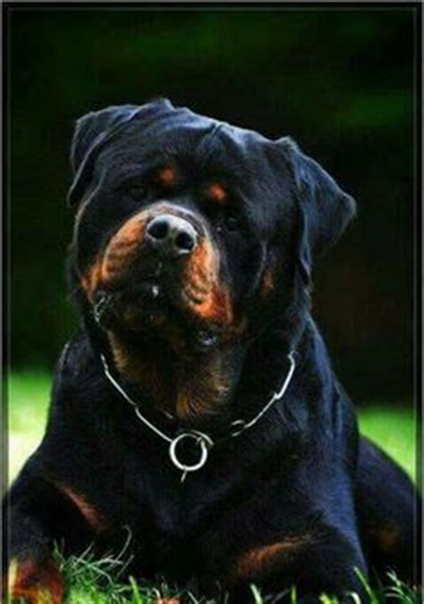 scary names for rottweilers german rottweiler puppies for sale ruelmann rottweilers inc other things to