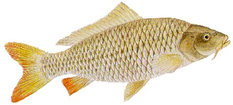 seputar dunia perikanan koleksi gambar ikan air tawar