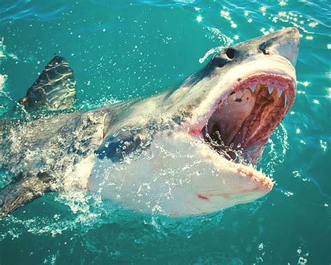 great white shark dive great white shark cage diving bokbus tours