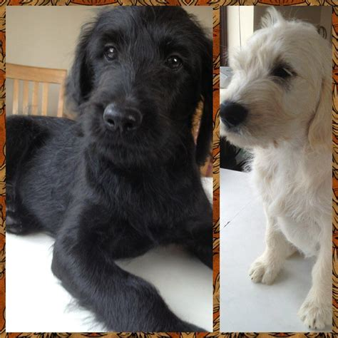 f1 labradoodle puppies for sale beautiful f1 labradoodle puppies for sale market drayton shropshire pets4homes