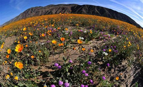 anza borrego wildflowers 2017 birders fuel superbloom buzz at anza borrego park times of san diego