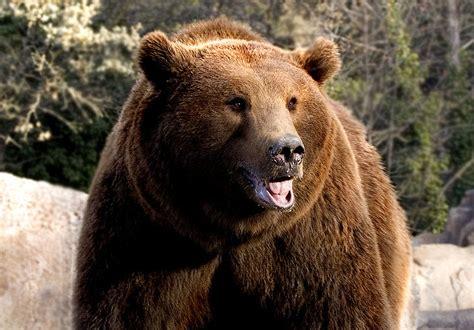 imagenes de osos wallpaper file oso pardo madrid jpg wikimedia commons