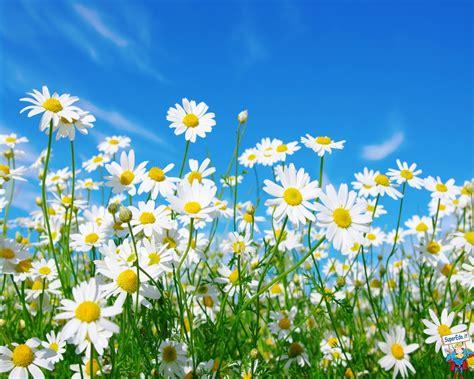 foto hd fiori sfondi margherite hd sfondi in alta definizione hd