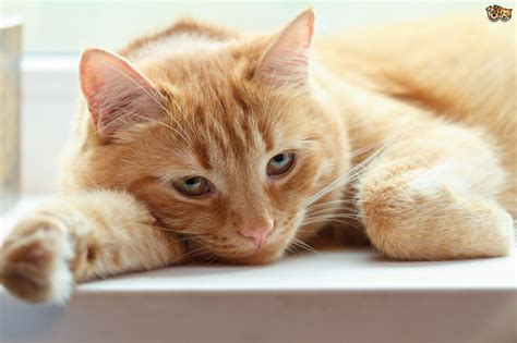 cat and images when cats are sick why do they hide away pets4homes