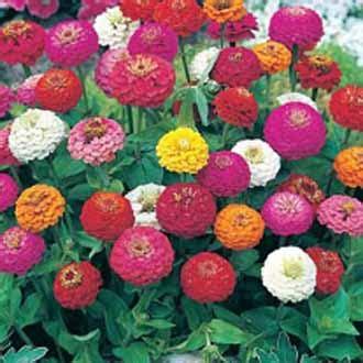 10 Benih Biji Bunga Zinnia Carpet jual aneka bibit bunga jual bibit bunga murah