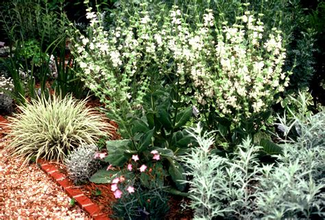 silver sage plant preview silver sage salvia argentea in the garden
