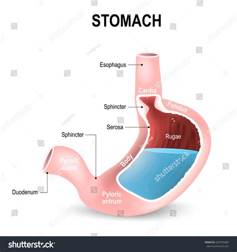 diagram of stomach sections stomach parts regions duodenum esophagus stock