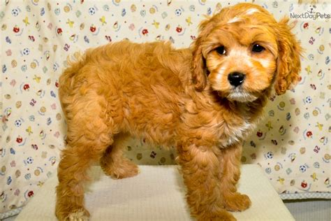 cavapoo puppies illinois cavapoo puppy for sale near southern illinois illinois 74aa01b8 5691