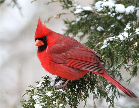cardinal in winter red cardinal pinterest