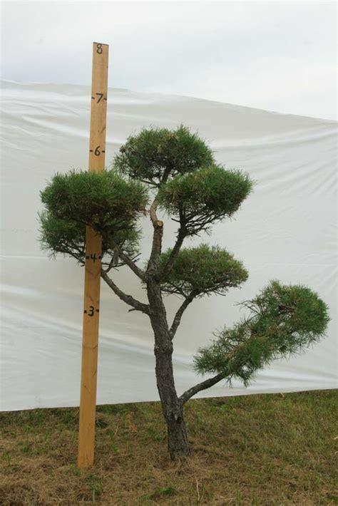 scotch pine topiary 187 scotch pine topiary tree 413 plants beautiful nursery