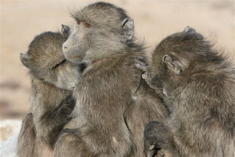 study reveals baboon clique behaviour zoological society  london zsl