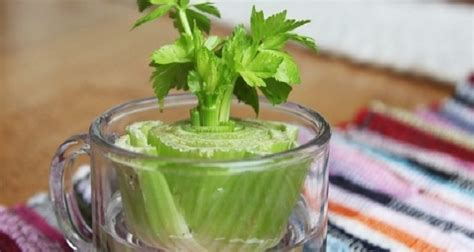 7 vegetables you can regrow 7 vegetables that you can regrow again and again and