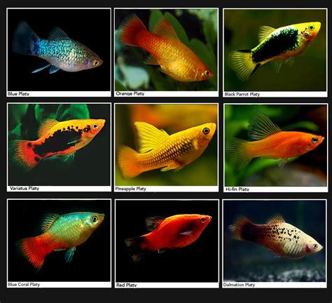 Lu Aquarium Ikan Hias suggestions images of ikan hias air tawar tercantik go fassso images