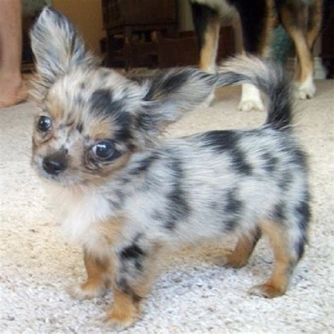 blue merle teacup chihuahua puppies sale puggle chihuahua mix blue merle teacup chihuahua puppies sale