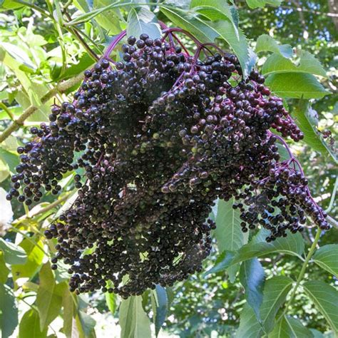 american elderberry wyldewood sambucus canadensis