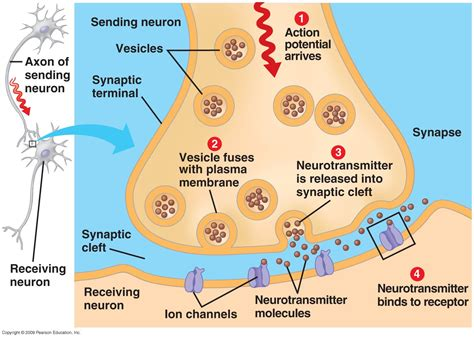 chemical synapse diagram synapse learning