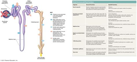 diagram of the nephron nephron diagram unmasa dalha