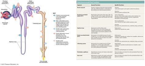 diagram of a nephron nephron diagram unmasa dalha