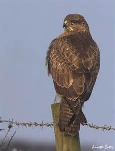 wildlife pictures birds uk common buzzard buteo buteo