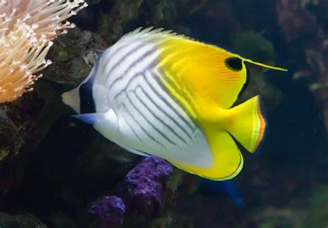 google images fish threadfin butterfly fish google search kauai fish that