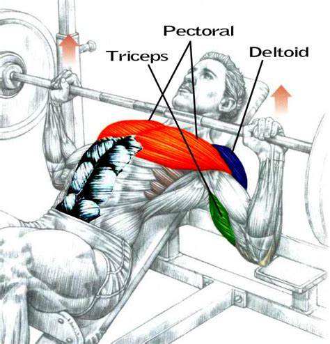 muscles used in a bench press incline bench press muscles 28 images incline press