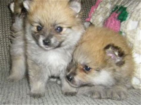 pomeranian puppies for sale in raleigh nc pomeranian puppies in ohio