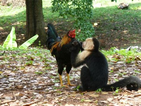 Rooster And Monkey | day trip monkey and rooster picture of media luna