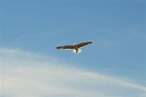 flying on free stock photo of bird flying seagull