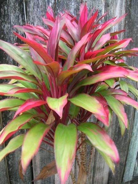 Hawaiian Plants Hawaiian Tī Plant Cordyline Fruticosa Description And Care