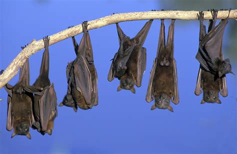 bats hibernating animals