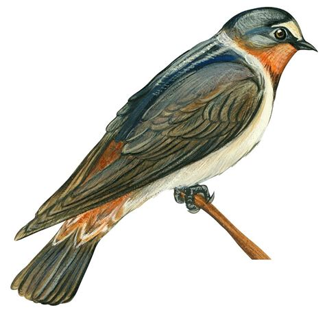 cliff swallow drawing by anonymous