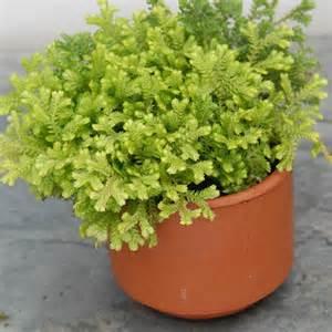 Indoor Moss Garden - golden club moss selaginella kraussiana aurea logee s