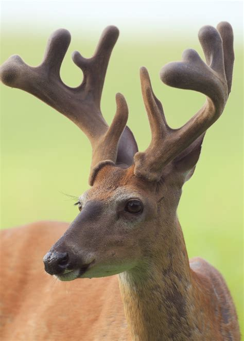 How Often Do Deer Shed Their Antlers by Why Bucks Shed Their Antlers Mississippi State Extension Service