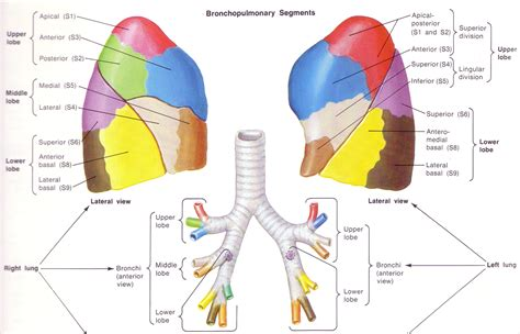 lungs definition location anatomy function diagram pts w pulm disease at university of maryland school of