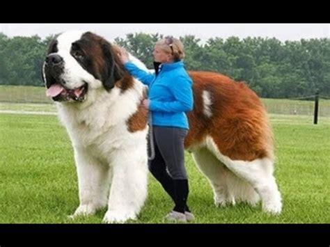 amazing dogs world s strongest dogs amazing dogs