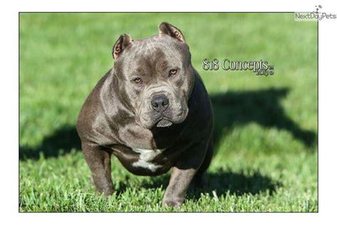 mr miagi bully puppies for sale direct mr miagi american bully puppy for sale near chico california 83b5a677 2cc1