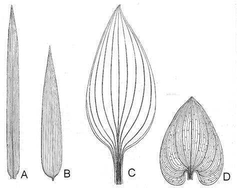 leaf pattern of dicots botany professor how the grass leaf got its stripes