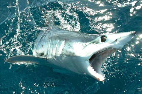 mako boats san diego fishing report san diego early may mako