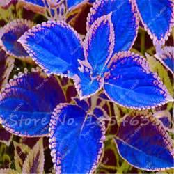 popular coleus plant buy cheap coleus plant lots from