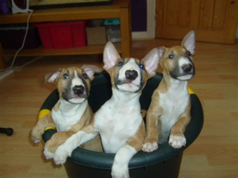 bull terrier puppies for sale in ga bull terrier pups for sale in kent