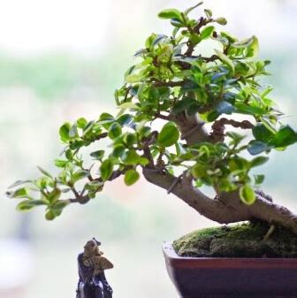 bonsai plant seeds picture more detailed picture about