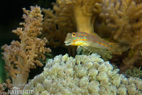 Poisson Dormeur by Gobie Dormeur 224 Taches Orange Photographie