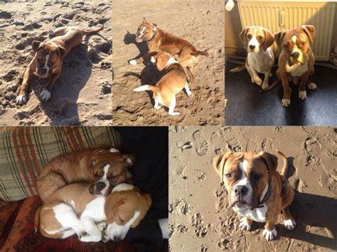 suche neues zuhause für meinen hund bulldog boxer mix monate suche neues zuhause