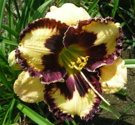 Daylilies For Shade Daylilies Carolyn S Shade Gardens