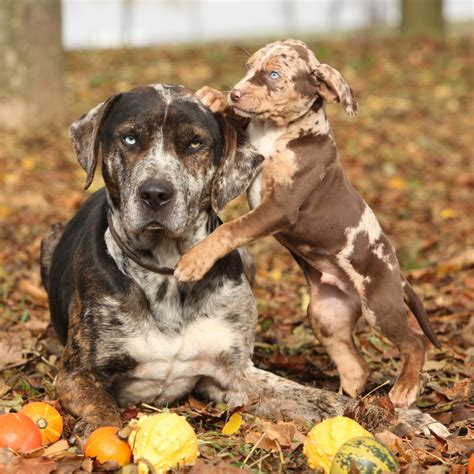 puppy breed louisiana catahoula leopard info temperament puppies pictures