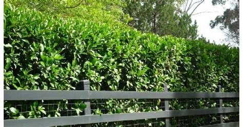 best plants for privacy in florida driveway and entrance ideas pinterest florida and plants