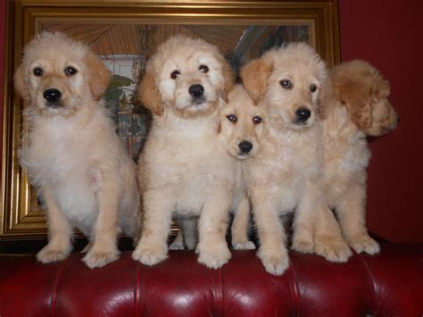 golden retriever labradoodle puppies goldendoodle goldendoodle comfort retrievers by the creator of the breeds picture