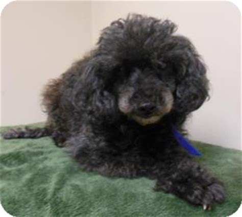 indiana poodle rescue nana adopted gary in poodle or tea cup mix